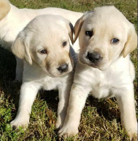 Lab Puppies - BAR A KENNELS, LLC
